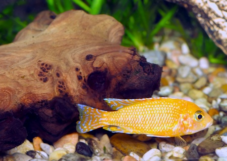 orchidea: Aquarium Fish dwarf Cichlid-Aulonocara(Aulonocara sp. Orchidea Red)