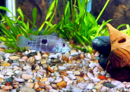 Aquarium Fish dwarf Cichlid.  (Apistogramma nijsseni). Stock Photo - 10397257