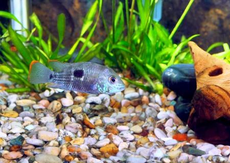 buntbarsch: Aquarium Fish Zwergbuntbarsch. (Apistogramma nijsseni). Lizenzfreie Bilder