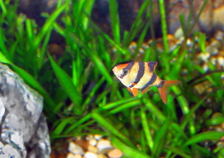 Single aquarium fish-Barbus-five-banded barb. (Barbus pentazona) photo
