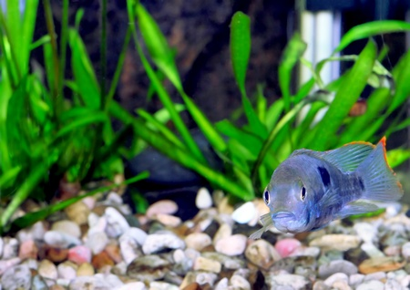 Aquarium Fish dwarf Cichlid.  (Apistogramma nijsseni). Stock Photo - 10397205