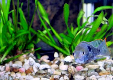 Aquarium Fish dwarf Cichlid.  (Apistogramma nijsseni).