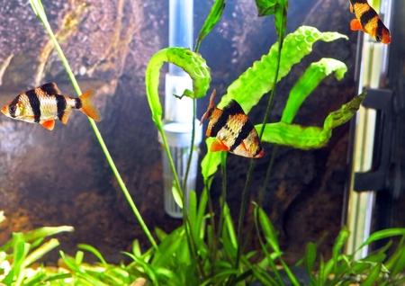 Shoal of aquarium fish-Barbus-five-banded barb. (Barbus pentazona) Stock Photo - 10397215