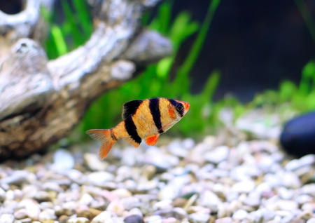 cichlidae: Single aquarium fish-Barbus-five-banded barb. (Barbus pentazona) Stock Photo