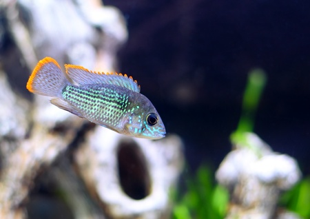 Aquarium Fish dwarf Cichlid.  (Apistogramma nijsseni). Stock Photo - 10397159