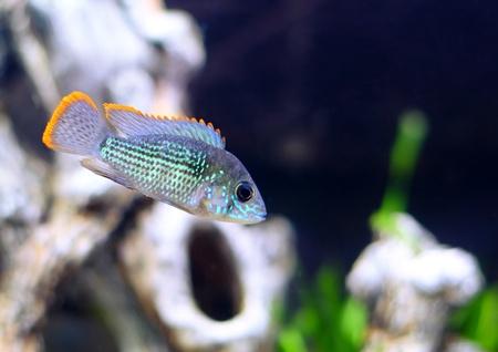 apistogramma: Aquarium Fish dwarf Cichlid.  (Apistogramma nijsseni).