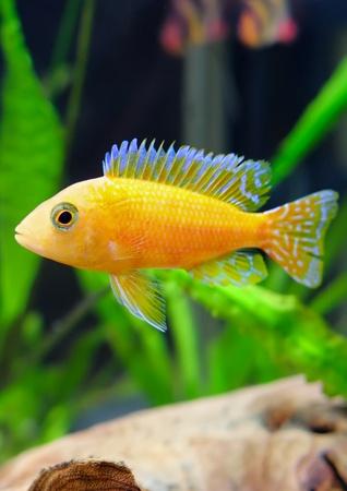 pez pecera: Acuario de peces cíclidos enanos-Aulonocara (Aulonocara sp. Orchidea Red)