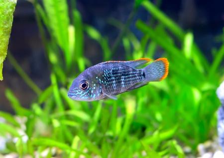 Aquarium Fish dwarf Cichlid.  (Apistogramma nijsseni). Stock Photo - 10397156