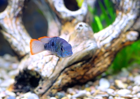 Aquarium Fish dwarf Cichlid.  (Apistogramma nijsseni). Stock Photo - 10397154