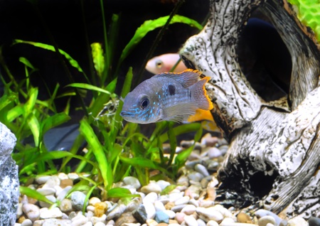 Aquarium Fish dwarf Cichlid.  (Apistogramma nijsseni). Stock Photo - 10397193