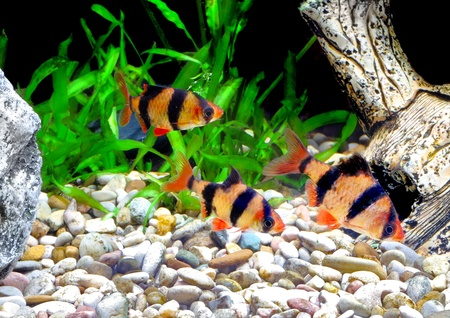 cichlidae: Shoal of aquarium fish-Barbus-five-banded barb. (Barbus pentazona) Stock Photo