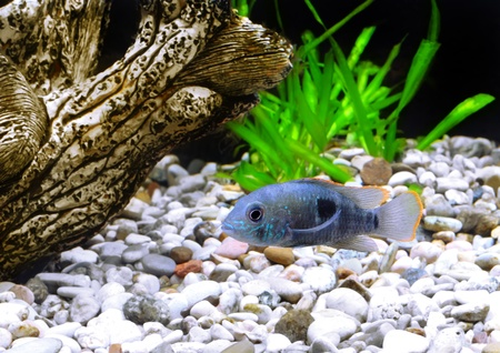 pez pecera: Enano acuario peces cíclidos. (Apistogramma nijsseni). Foto de archivo