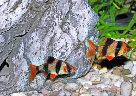 Shoal of aquarium fish-Barbus-five-banded barb. (Barbus pentazona) Stock Photo - 10397267