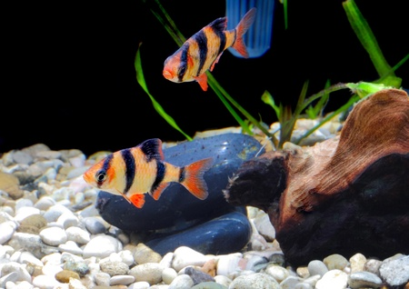 Shoal of aquarium fish-Barbus-five-banded barb. (Barbus pentazona) Stock Photo - 10397174