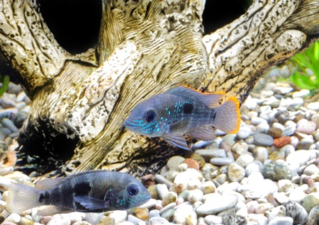 Aquarium Fish dwarf Cichlid.  (Apistogramma nijsseni). Stock Photo - 10397310