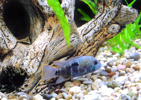 Aquarium Fish dwarf Cichlid.  (Apistogramma nijsseni). Stock Photo - 10397362