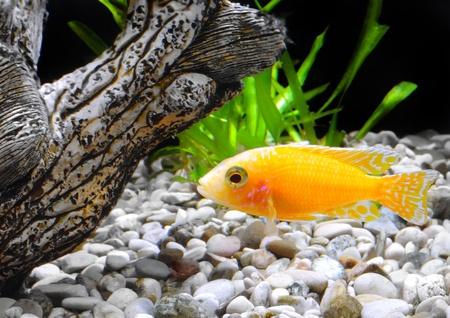 Aquarium Fish dwarf Cichlid-Aulonocara(Aulonocara sp. Orchidea Red) photo