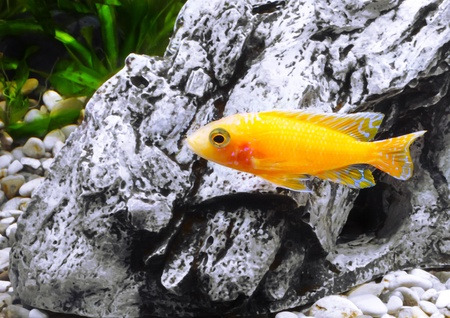 Aquarium Fish dwarf Cichlid-Aulonocara(Aulonocara sp. Orchidea Red) photo