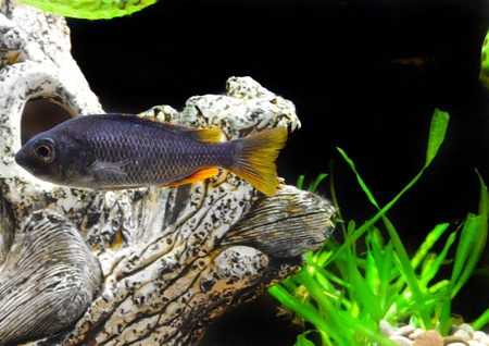 apistogramma: Aquarium Fish dwarf Cichlid underwater.