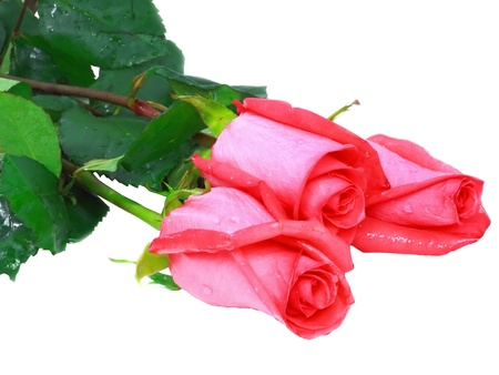 Beautiful three pink roses isolated on white background. photo