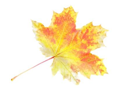 amber coloured: Single autumn Leaf over white. Isolated over white Stock Photo