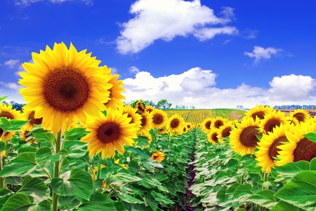 Beautiful sunflowers  photo