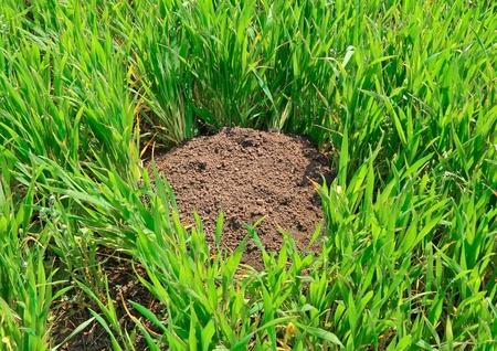 A mole's work in fields on ferm. Stock Photo - 11897005