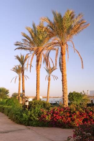 timeshare: Early morning and palm-tree .  Sunrise.  Egypt