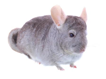 provable: Gray ebonite chinchilla on white background. Isolataed Stock Photo