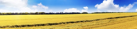 secale: Field of rye and sunny day with cloudy sky. Panorama