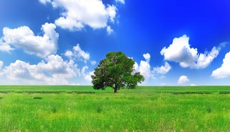 Alone one big tree on green meadow . Panorama photo