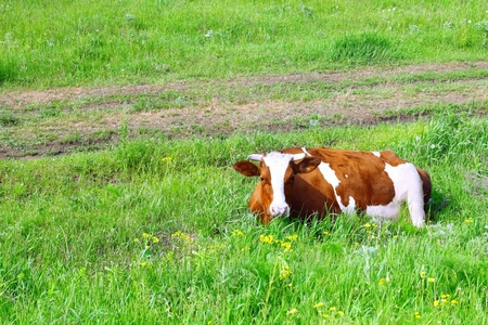 Cow lie on the  meadow. Stock Photo - 11940633