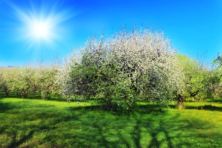 Blossom apple-trees garden at the spring. Sun at the sky. photo