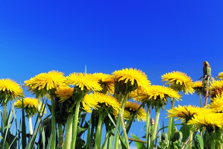 yellow stamens: Beautiful spring flowers-dandelions in a wild field.