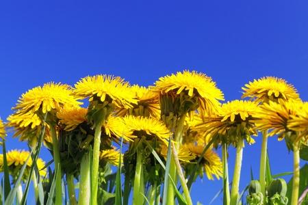 Beautiful spring flowers-dandelions in a wild field  photo