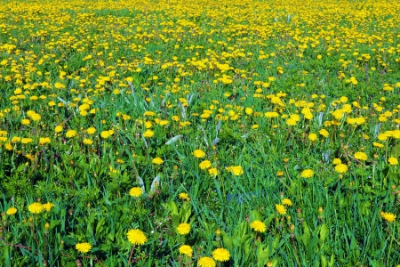 Beautiful spring flowers-dandelions in a wild field  Early morning photo