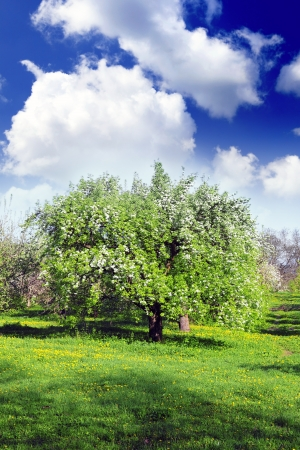 Blossom apple-trees garden at the spring  Sun at the sky  photo