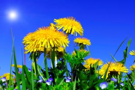Beautiful spring flowers-dandelions in a wild field. photo
