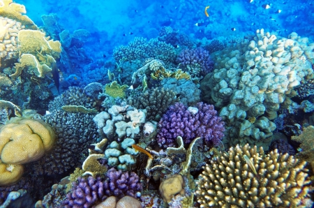 reefscape: Coral and fish in the Red Sea Egypt