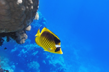 sharm: Coral and fish in the Red Sea.Diagonal butterfly.Egypt