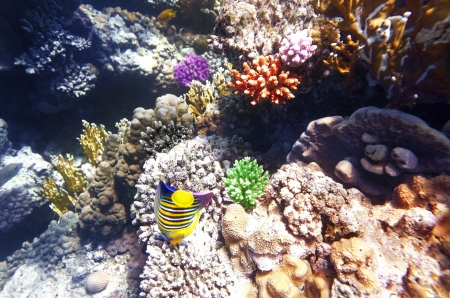 sharm: Coral and fish in the Red Sea.Angel fish.Egypt