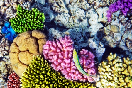 live coral: Coral and fish in the Red Sea.Cleaner wrasse fish.Egypt