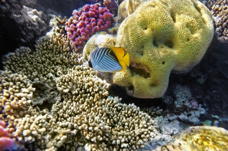 chaetodontidae: Coral and fish in the Red Sea.Butterfly fish.Egypt Stock Photo