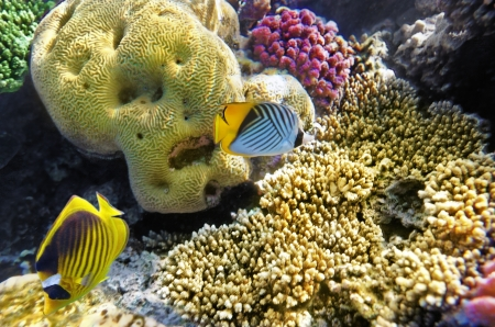 Coral and fish in the Red Sea.Butterfly fish.Egypt Stock Photo - 15251319