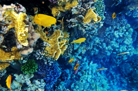 sharm: Coral and fish in the Red Sea.Masked butterfly.Egypt