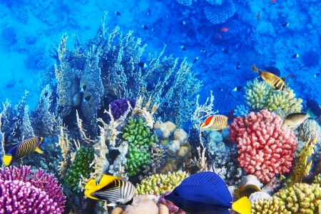 Coral and fish in the Red Sea Egypt photo