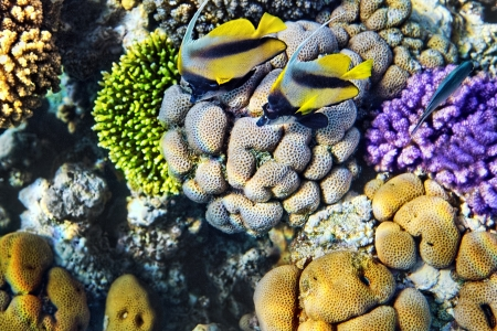 bannerfish: Coral and fish in the Red Sea Egypt