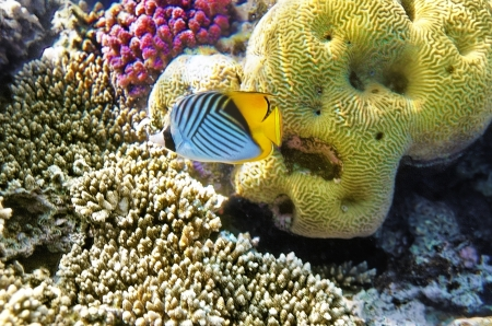 chaetodontidae: Coral and fish in the Red Sea Butterfly fish Egypt