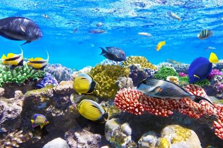 corales marinos: Coral y pescados en el Mar Rojo Egipto