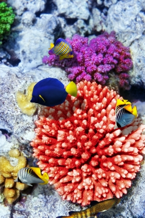 live coral: Coral and fish in the Red Sea Egypt